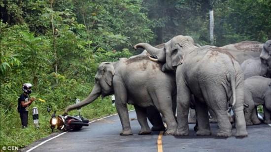 泰国摩托车手遭大象围攻一幕