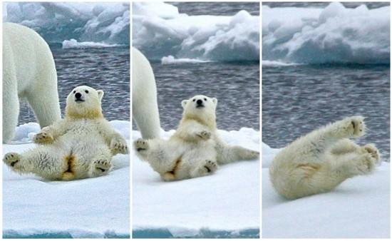 北极熊宝宝滑倒后奋力挣扎滑稽惹人爱