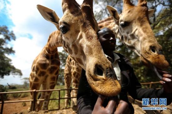 与长颈鹿亲密接触