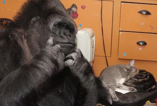 美母猩猩因无子收养两只小猫 生活温馨