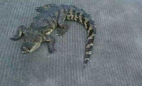 杭徽高速现大鳄鱼:嘴缠胶带悠哉压马路 过路