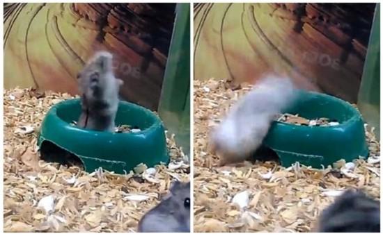 据英国《每日邮报》10月20日报道,俄罗斯一家宠物店内,一只仓鼠大秀后空翻绝技,此举引来宠物店内女子的阵阵欢笑。