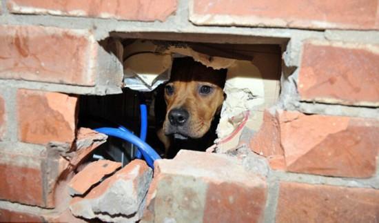 英小狗贪玩啃咬排水管头部被卡墙上终获救【2】