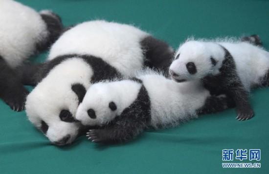 成都:今年新生双胞胎大熊猫集体亮相