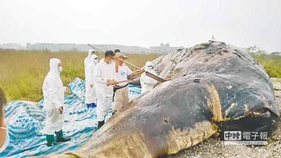 抹香鲸搁浅台湾近海肚里全是塑料袋(图)