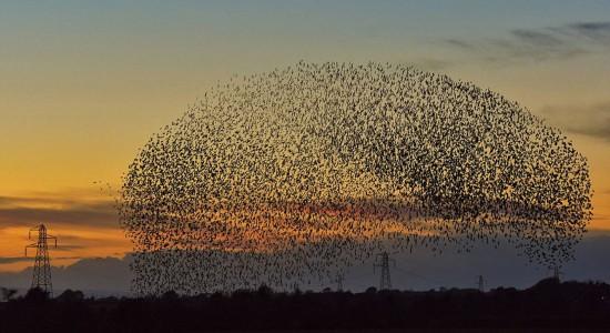 英国卡莱尔市区上空近日出现成千上万只八哥鸟集体迁徙的自然景象。 (网页截图)