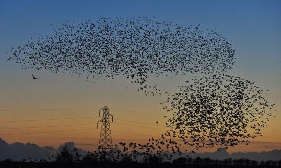 英上空现椋鸟群变换队形壮观景象