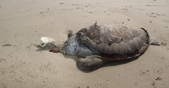 绿海龟暴尸沙滩体内充斥尼龙绳等海洋垃圾(图)
