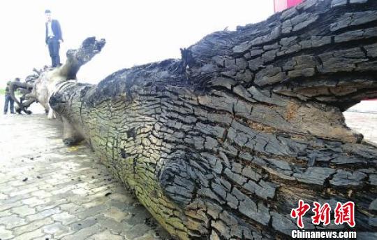 四川南充高坪发现两根巨型乌木总重量达15吨