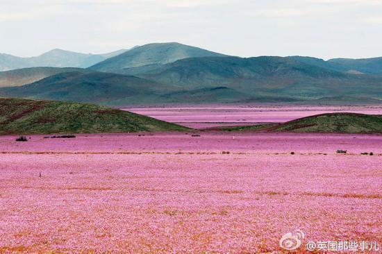 美!世界最干燥沙漠大雨过后花开遍地