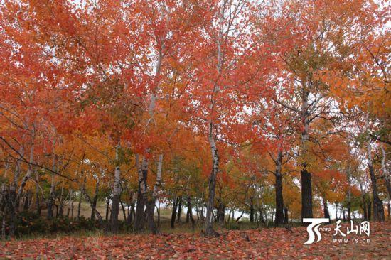 一八五团红叶林深秋景色美如画