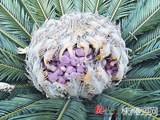 """炎陵神奇铁树开花又结果 果实长得像""""鸟巢"""""""