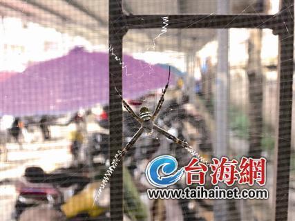 漳州华安奇怪蜘蛛结网秀英文 远看只长了4条