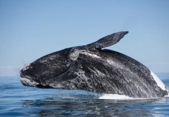壁纸 动物 海洋动物 鲸鱼 桌面 550_381