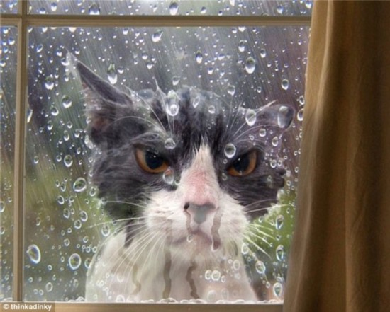 Let me in: This angry looking moggy decided to take an afternoon stroll in the garden, but was treated to a shower when he returned home and there was no one to let him back in
