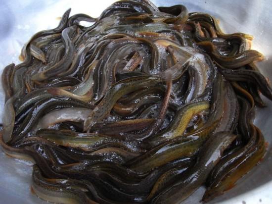 """最补肾的鱼堪称""""水中人参"""" 你吃过吗?"""