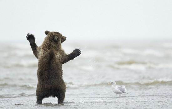 美国棕熊宝宝大跳迪斯科 海鸥当观众