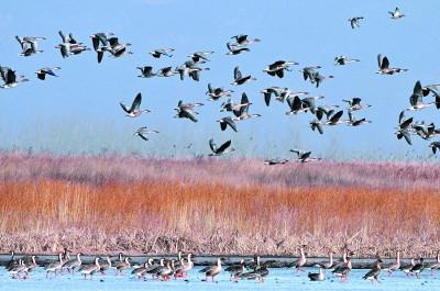 """环境持续改善每年10万候鸟野鸭湖""""打尖儿""""(图)"""