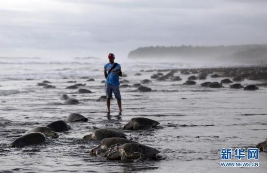 (国际)(1)数十万海龟蜂拥至哥斯达黎加海滩产卵