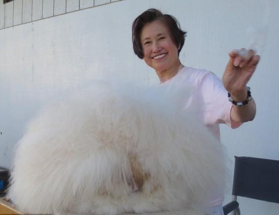 毛茸茸萌萌哒!英国安哥拉长毛兔毛长38厘米创世界纪录