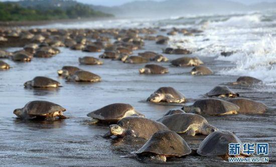 高清:数十万海龟蜂拥至哥斯达黎加海滩产卵