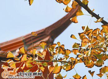 央视徐州拍纪录片《银杏之约》 两个月后播出