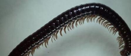 俄羅斯新型蜈蚣:體型大750條腿 驚呆小伙伴