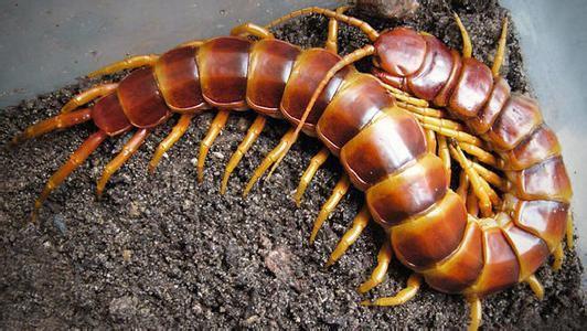 蜈蚣为陆生节肢动物,身体由许多体节组成,每一节上均长有步足,故