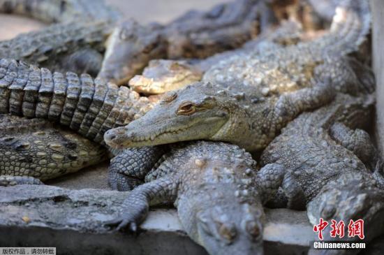 印尼肃毒局长建议给监狱毒贩灌毒品找鳄鱼看牢门