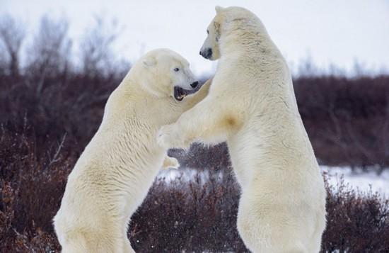 加两北极熊打斗上演推搡有趣拳击赛蝙蝠侠1电影国语图片