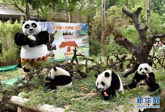 """(晚报)(1)长隆三胞胎大熊猫""""出演""""《功夫熊猫3》"""