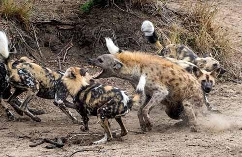 操非洲黑屄�_话题:非洲野狗vs鬣狗 胜负在谁?