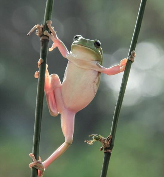 """印尼现""""功夫青蛙"""" 伸胳膊拉腿耍宝不停"""