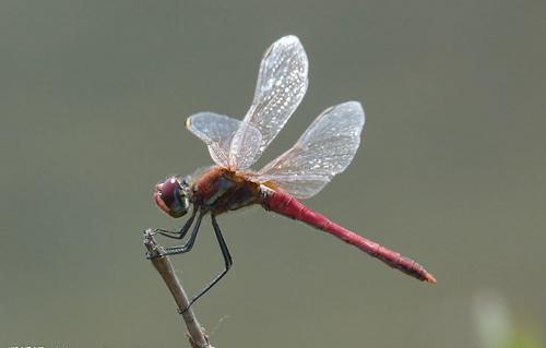 资料图:蜻蜓。