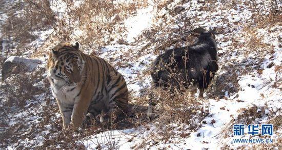 """俄罗斯一动物园老虎和山羊做""""朋友"""""""
