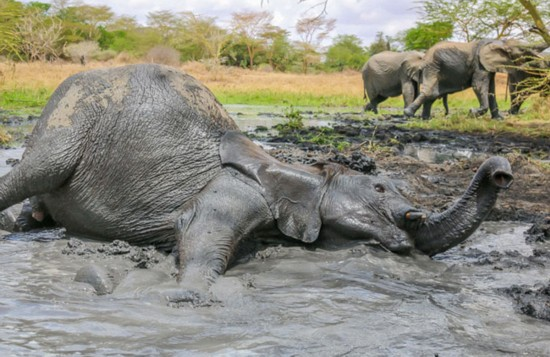 美游客拍摄非洲小象泥浴降温萌图
