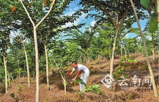 统一规划,规范种植了格木,印度紫檀,黄花梨,红花梨等珍贵用材林幼树27