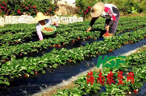 三道农场草莓园喜获丰收