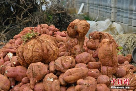 湖北一村民种出37斤红薯 堪称