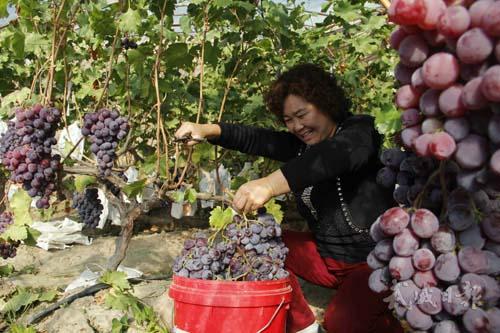 武威特色林果业_甘肃频道 各地动态    2015年,全市完成特色林果业定植34.
