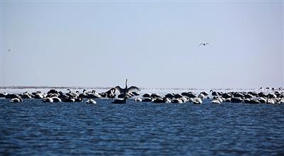 奇观: 4000只大天鹅飞抵青海湖