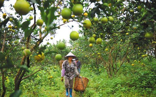 瓊中綠橙 採銷兩旺