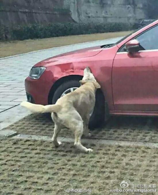 流浪狗因挡车位被踢上演毁车复仇记