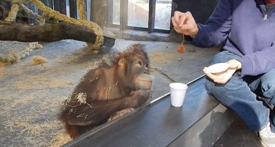 西班牙大猩猩看魔术表演狂笑不止倒地打滚