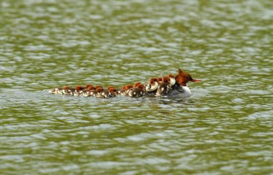 英国一母鸭背16只小鸭过河萌化人心