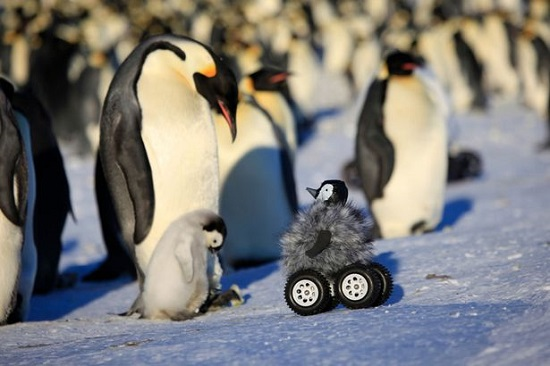 """攝像機偽裝""""小伙伴""""記錄小企鵝南極生活(圖)"""