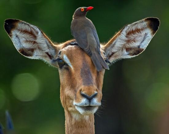 南非红嘴牛椋鸟与黑斑羚蹭头秀亲密【5】
