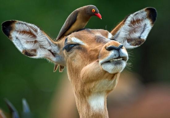 南非红嘴牛椋鸟与黑斑羚蹭头秀亲密【4】