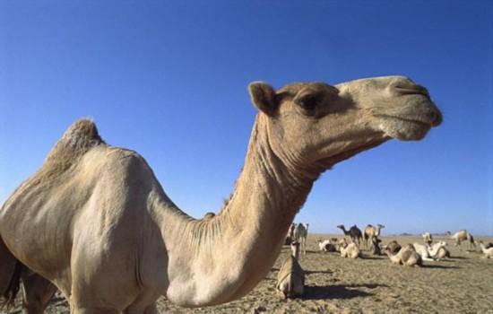 女子因亲吻骆驼被迫离婚