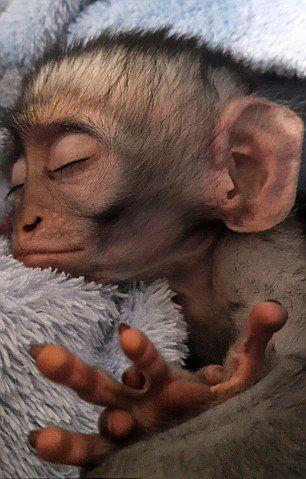 津巴布韦小猴超嗜睡 可随地打盹【7】